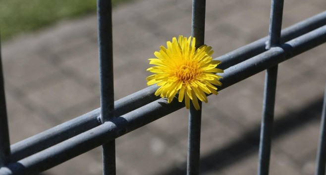 Kwiatek i kraty jako metafora dozory karnego